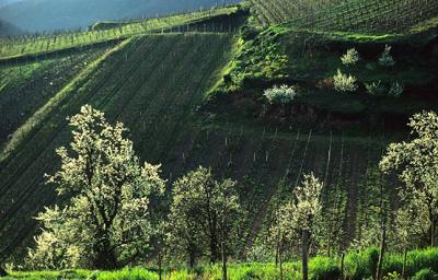 vignes-au-printemps-g.-wurt.jpg